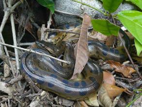 The Anaconda, ecotourism star in Amazonia