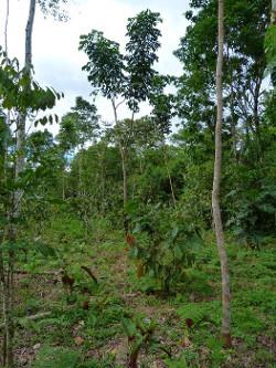 Système agroforestier bos et cacao