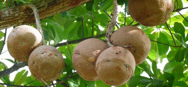 Sapotier greffé et présentant de beaux fruits