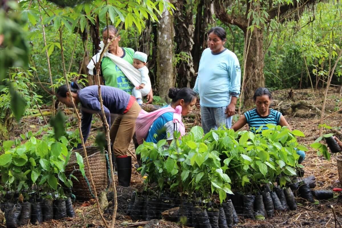 Agroforesterie participative en Amazonie équatorienne