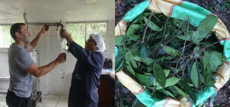 Distillation des feuilles de cannelle amazonienne