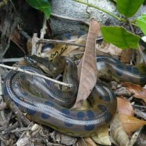 Le célèbre anaconda