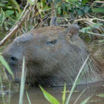 Le capibara d'Amérique du Sud