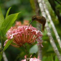 Espèce de colibri d'Amazonie