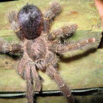 Une mygale brune aux poils urticants