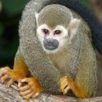 Les singes, roi des forêts tropicales