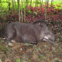 Le tapir d'Amérique du Sud