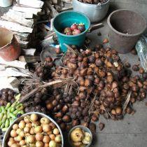Récolte de Salak