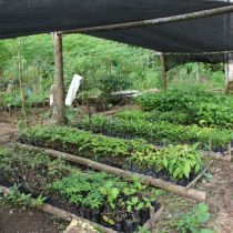 Jeunes plants en pépinière